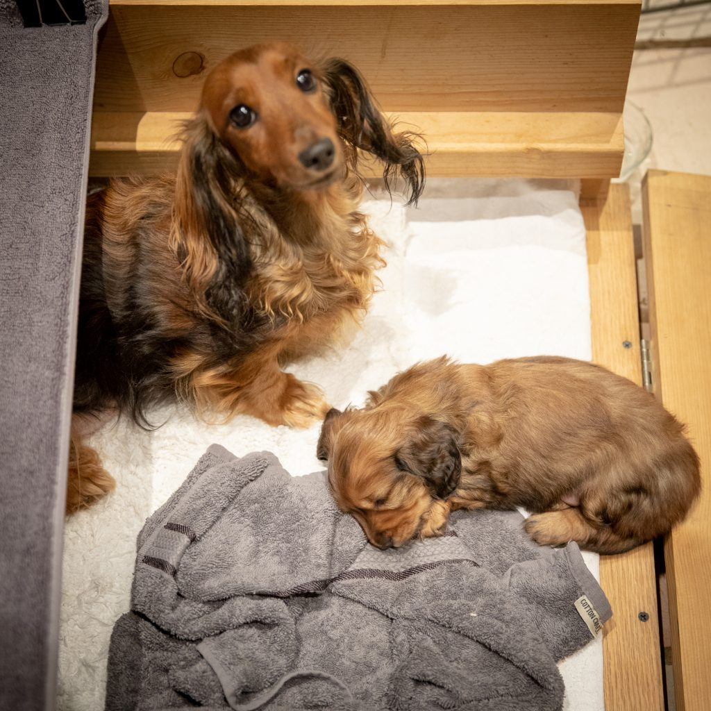 Day 35 - Mom Watches over Exhausted Puppy