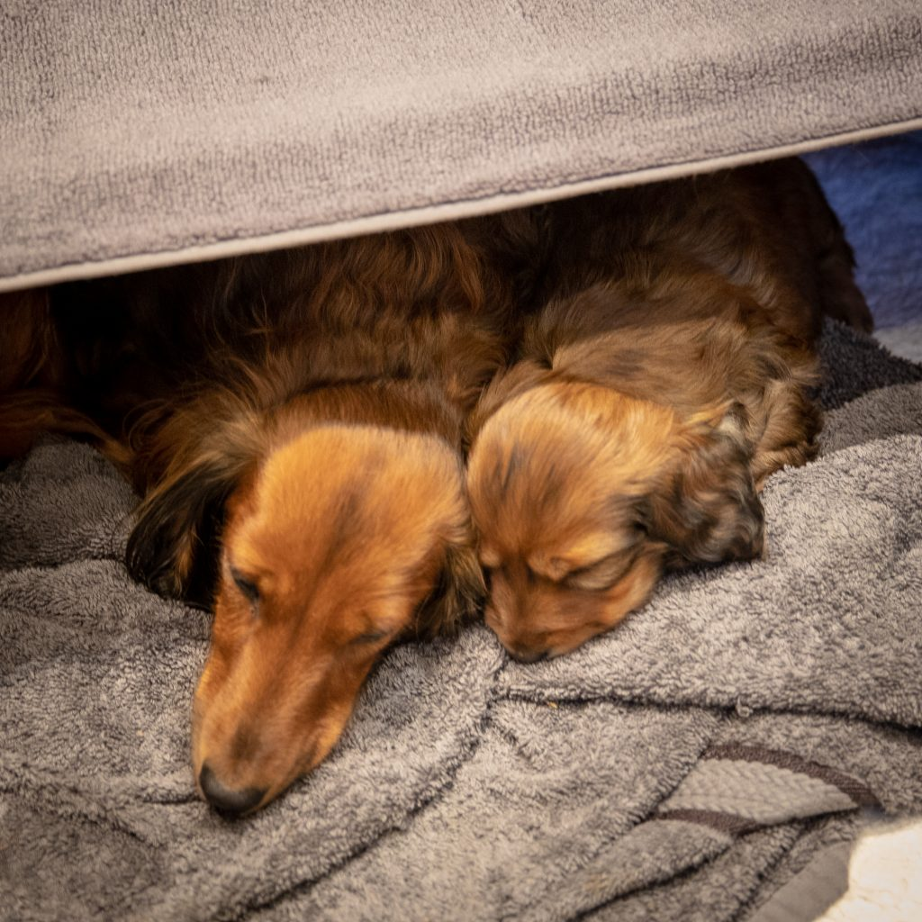 Zenith and MUNI napping in the whelping box